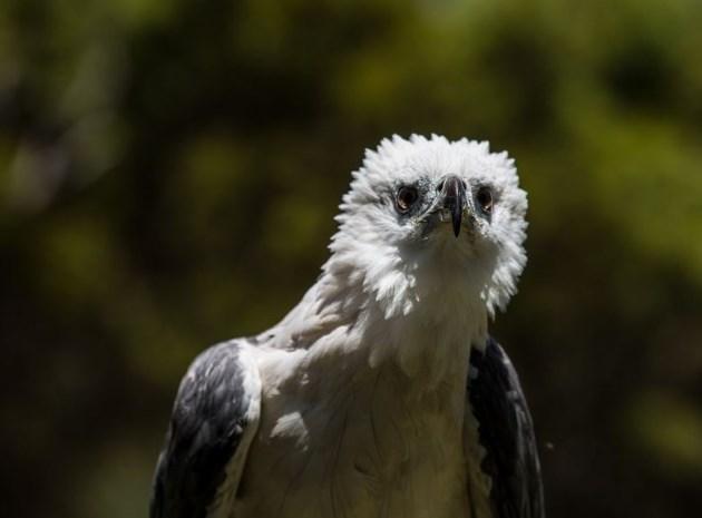 White Bellied Sea Eagle, Kangaroo Island - Raptor Domain features Kangaroo Island Birds of Prey