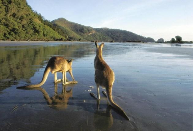 Kangaroos on Beach, Cape Hillsborough