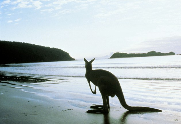 Kangaroo on the Beach - Well, what did you expect? - Tourism Australia Copyright