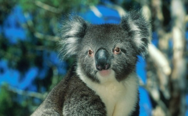 Koala - endangered but can still be spotted in South Australia National Parks. Photo: Adam Bruzzone