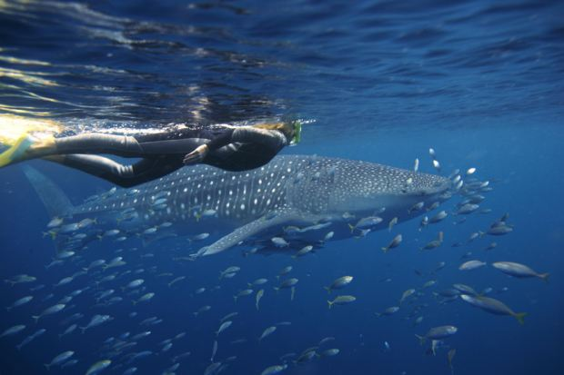 Diving with Whale Sharks, Ningaloo Reef
